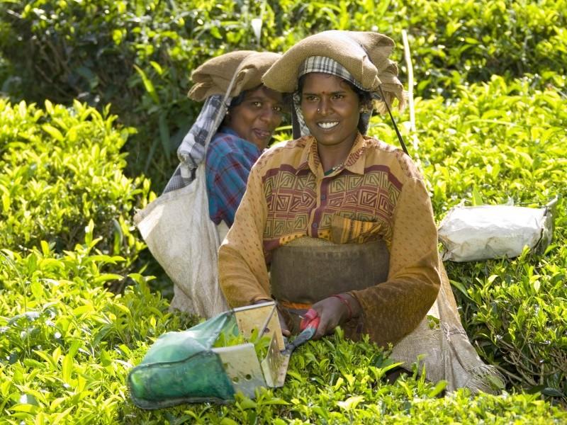 Tea Pickers, Munnar