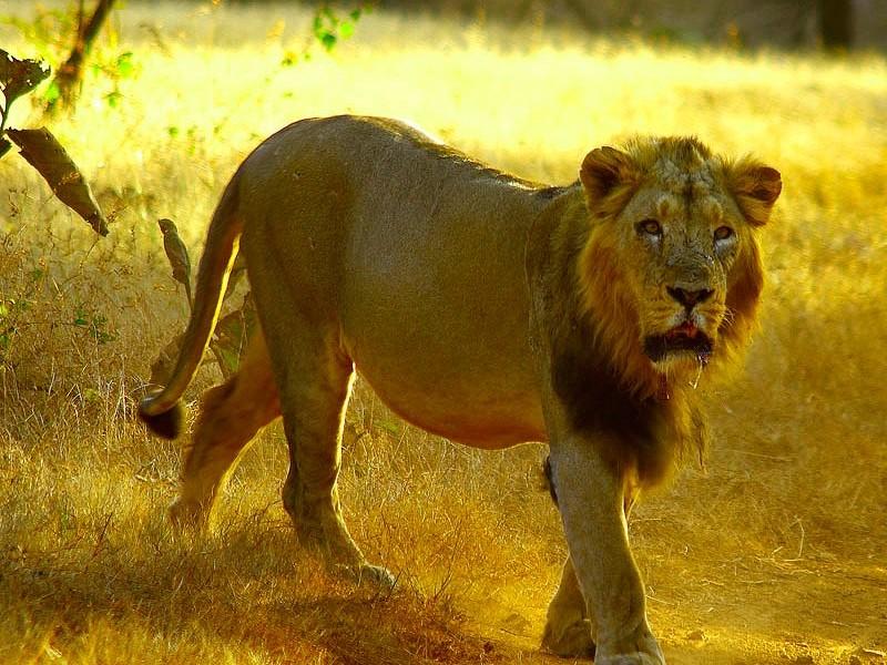 Asiatic Lion, Sasan Gir