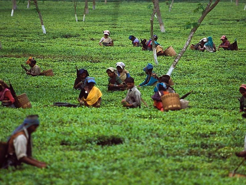 Tea gardens, Darjeeling