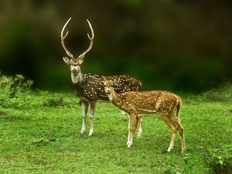 Chital (spotted deer), Kanha N. P.
