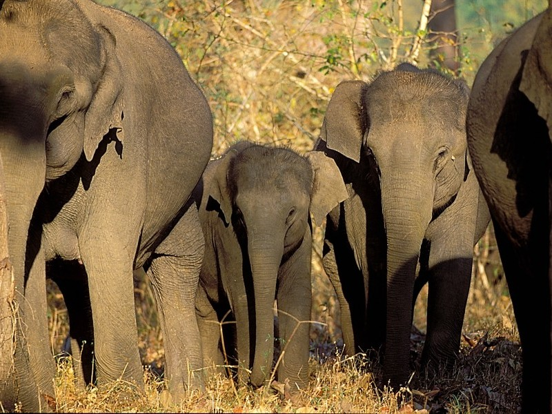 Elephants at Nagarhole