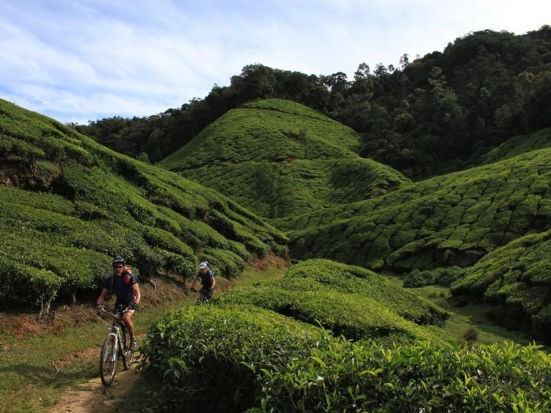 Tea Plantations, Guruvayur