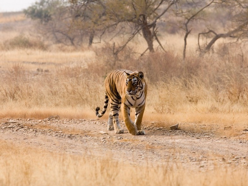Tiger sighting, Ranthambore