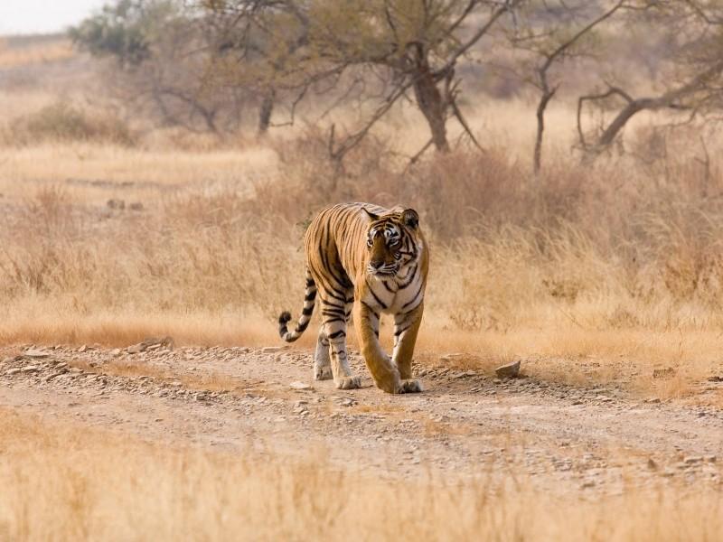 Tiger sighting, Ranthambore