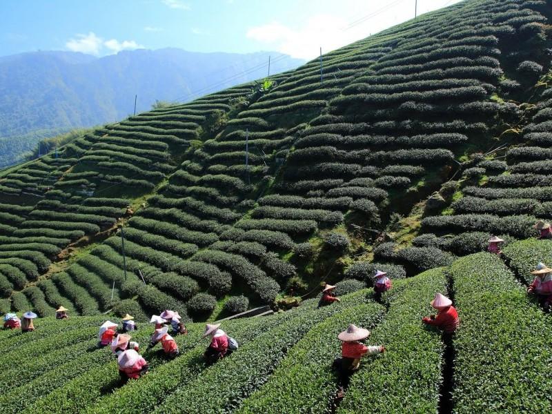 Tea Plantations, Darjeeling