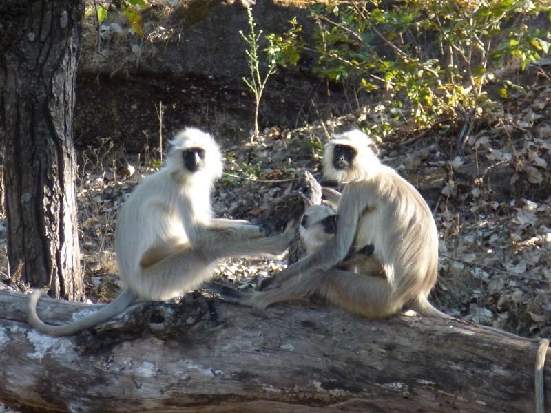 Langurs, Kanha National Park