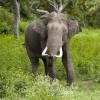 Elephant, Bandipur N.P.