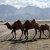 Bactrian Camels, Nubra Valley
