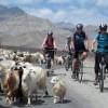 Pashmina Goats, Ladakh