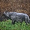 Indian Rhinoceros, Kaziranga N. P.
