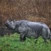 Indian Rhinoceros, Kaziranga N. P.