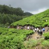 Trekking through tea plantations, Kerala