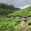 Trekking through tea plantations, Kerala
