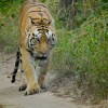 Tiger sighting, Pench National Park