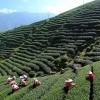 Tea Plantations, Darjeeling