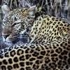 Leopard, Bandhavgarh N. P.