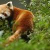 Red Panda, Sikkim