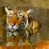 Bengal Tiger, Sunderbans